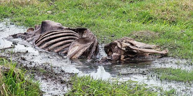 14 cadavres de vaches découverts: le parquet va poursuivre le fermier - La DH