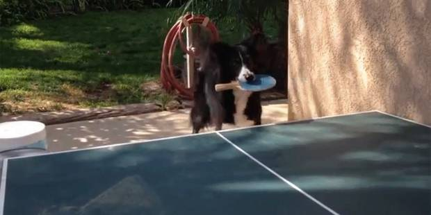 Un chien, champion de ping pong - La DH