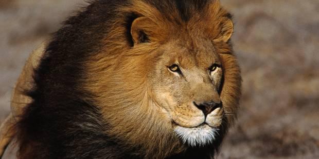 Un photographe s'approche un peu trop près d'un lion... et sort un superbe cliché (PHOTO) - La DH