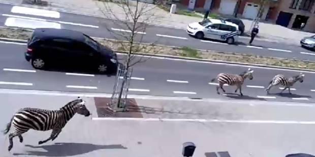 Quatre zèbres ont été capturés entre Bruxelles et Vilvorde - La DH