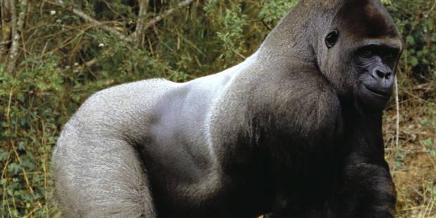 Une petite fille ennuie un gorille... qui lui répond violemment ! (VIDEO) - La DH