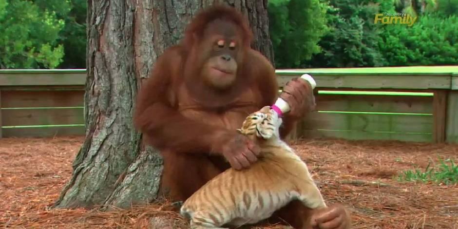 Une orang-outan donne le biberon à trois petits tigres
