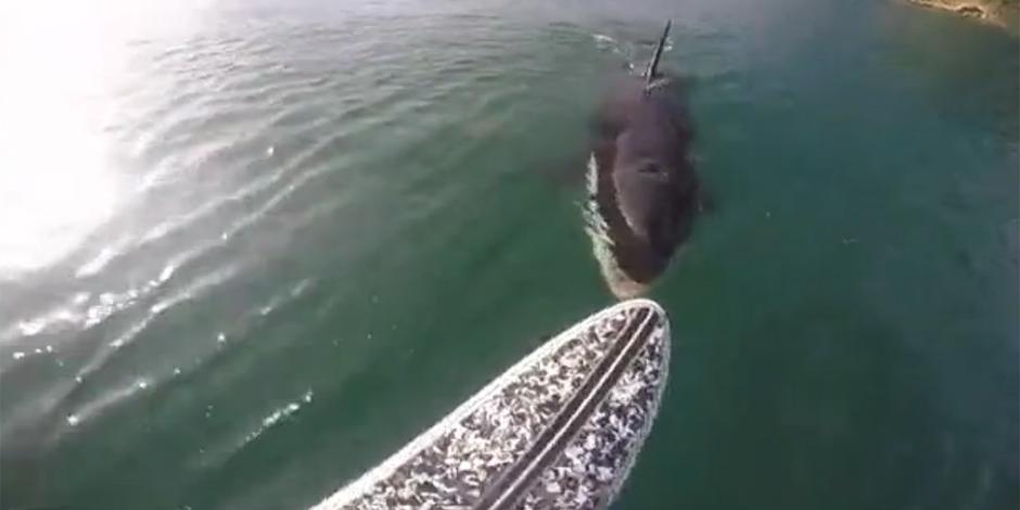 Un surfeur tombe nez à nez avec une orque le long de la côte