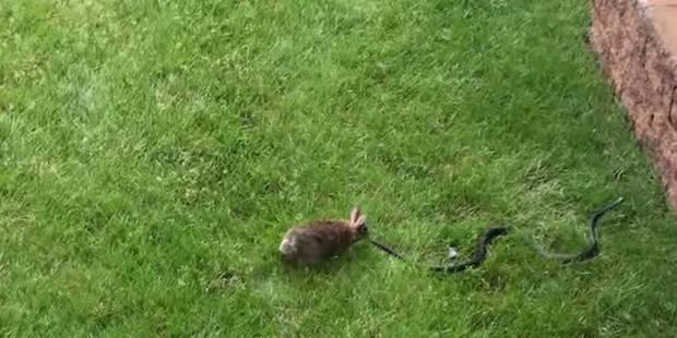 Une lapine se venge du serpent qui a tué ses petits (VIDEO) - La DH