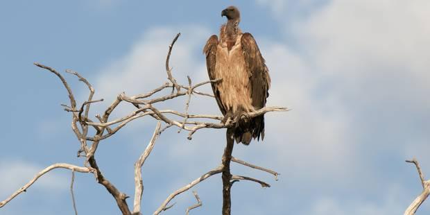 Des dizaines de vautours dans le ciel belge - La DH