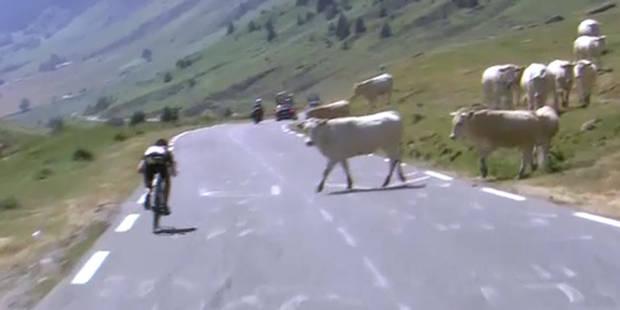 Catastrophe évitée de justesse au Tour: quand des vaches s'invitent sur la route (VIDEO) - La DH