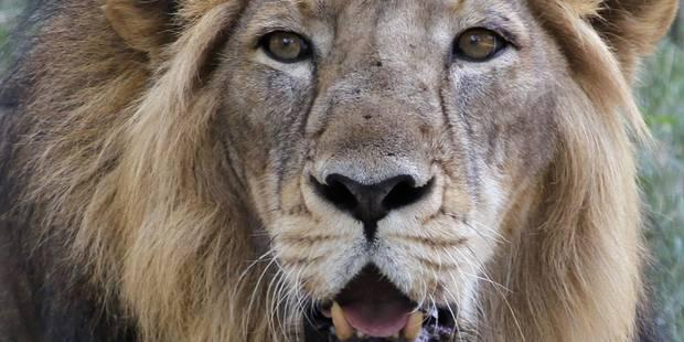 Zimbabwe: le plus c�l�bre lion du parc Hwange d�capit� par un Am�ricain