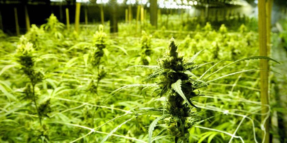 Combien cela rapporte-t-il de cultiver 900 plants de cannabis? - La DH