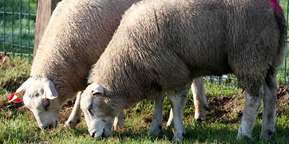 Les moutons n'ont pas le droit de vote