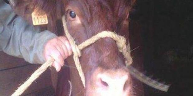"""Cornette, la vache """"qui ne voulait pas mourir"""", a été sauvée - La DH"""