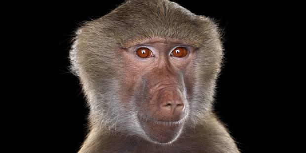 """Au Zimbabwe, des babouins """"interrompent"""" une émission de radio - La DH"""