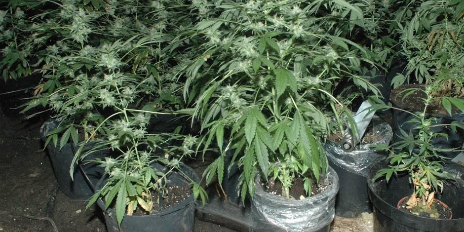 Une plantation de cannabis découverte à la suite d'un incendie à Châtelet