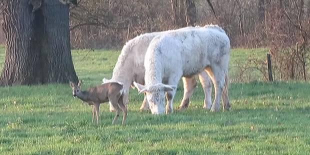 """""""Bambi"""" a été adopté par un troupeau de vaches (VIDEO) - La DH"""