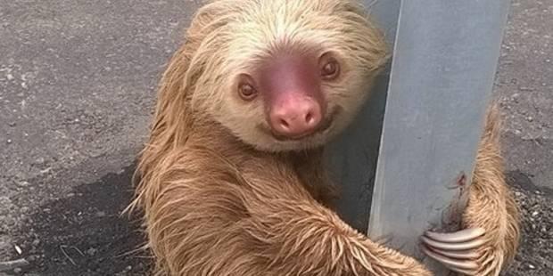 Un paresseux apeuré retrouvé au milieu du trafic - La DH
