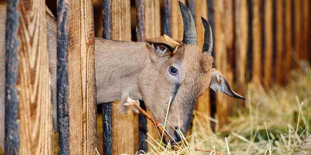 Des chèvres en pâture dans les cimetières carolos - La DH