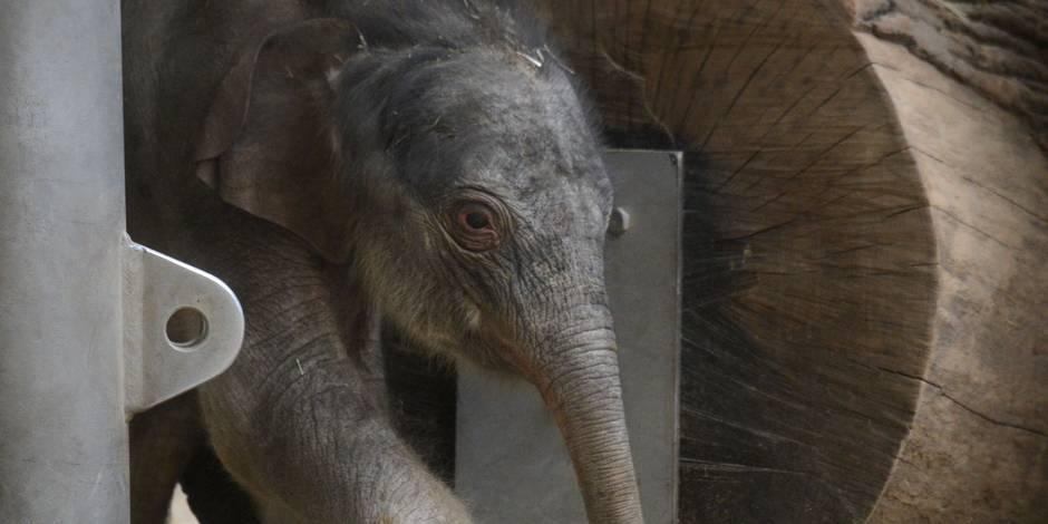 Naissance d'un éléphant indien dans le zoo de Prague