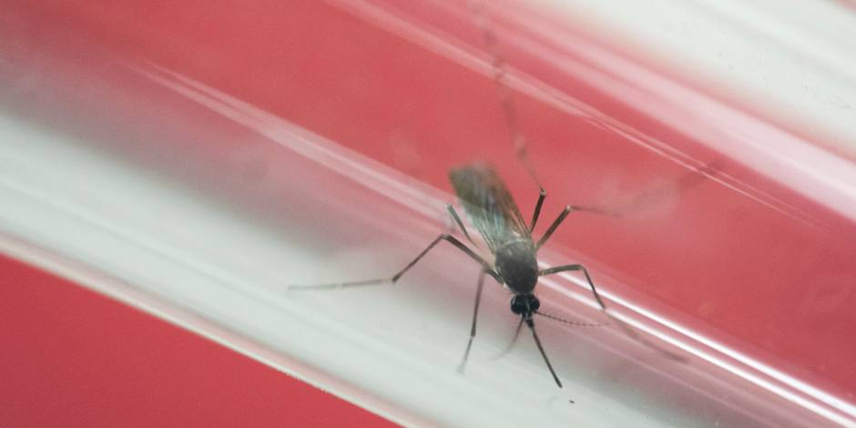 """Découverte d'anticorps capables de """"neutraliser"""" le virus Zika"""
