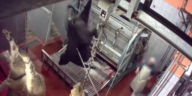 Une association de défense des animaux publie une vidéo dénonçant deux abattoirs du sud de la France - La DH