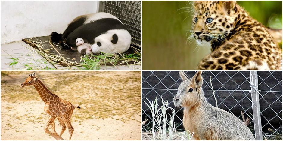 Baby-boom dans nos parcs animaliers (PHOTOS)