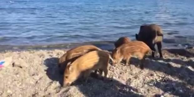 Une famille de sangliers se baigne au milieu des vacanciers en France - La DH
