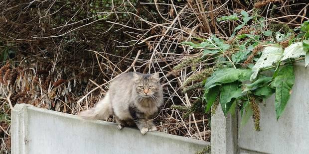 Une invasion de chats errants qui dérange à Forest - La DH