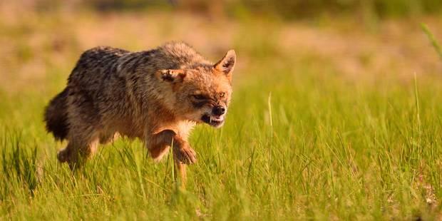 Après le loup, le chacal doré arrive en Belgique - La DH