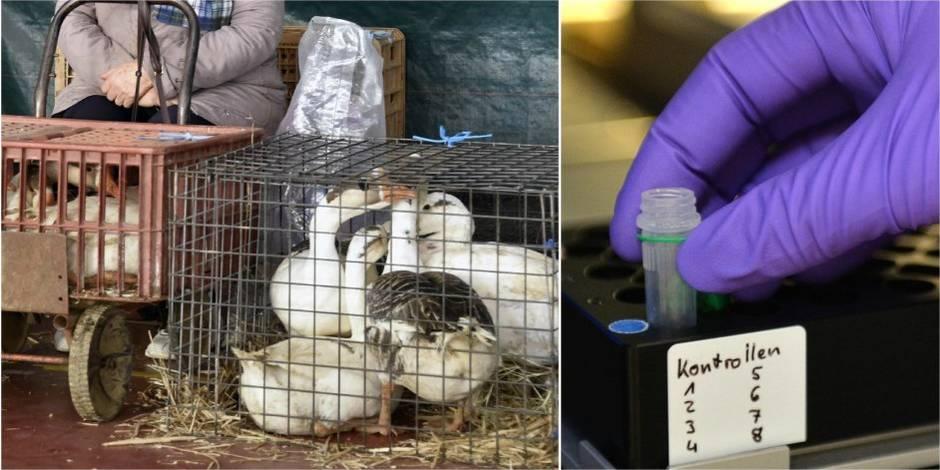 """Menace de la grippe aviaire: """"En Belgique, on s'attend à un cas d'un jour à l'autre"""" - La DH"""