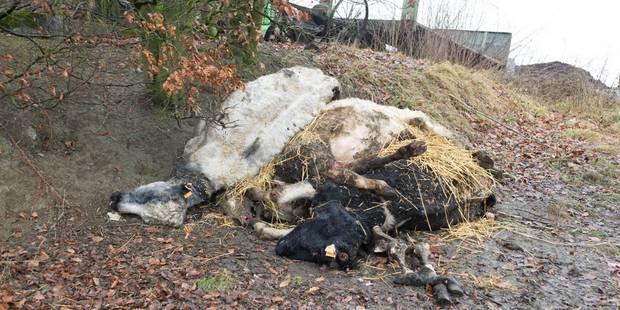 Des cadavres de vache dans la ferme de l'horreur - La DH