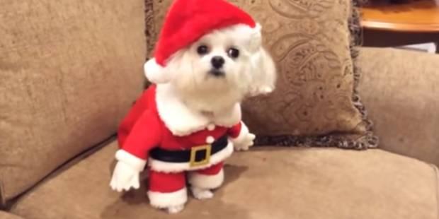 Ces animaux déguisés pour Noël vont vous faire fondre (VIDEO) - La DH