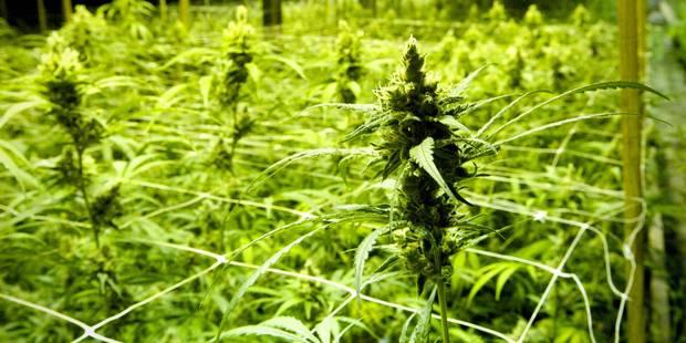 Une plantation de cannabis a été découverte à Seraing - La DH