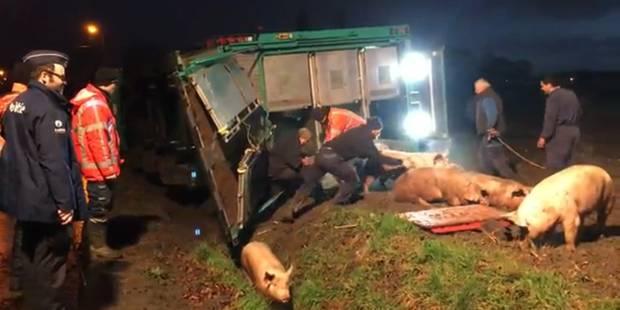 Flandre: un camion transportant 200 cochons dérape sur du verglas et termine dans un ravin (PHOTOS + VIDEO) - La DH