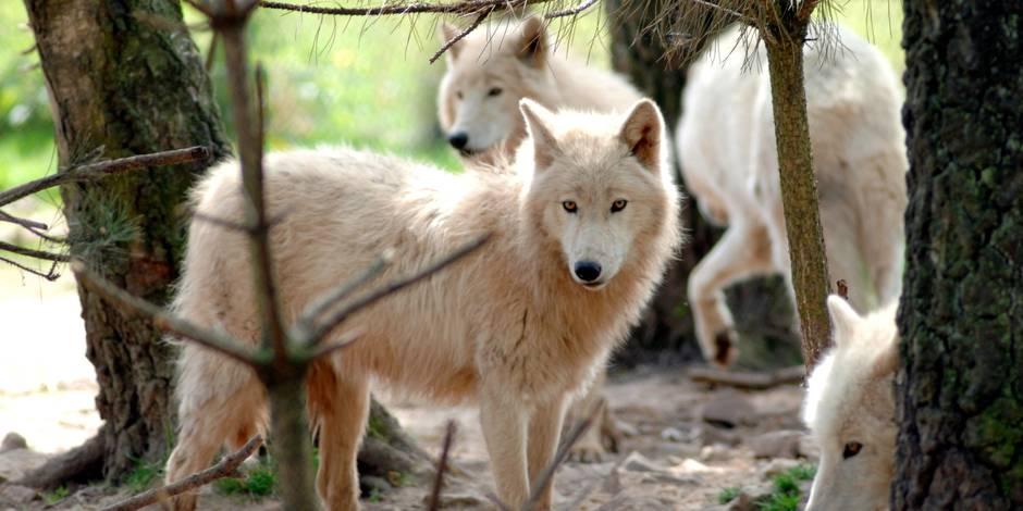 Les loups seraient-ils installés près de Paris ?