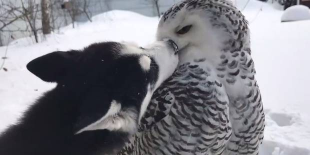 C'est l'amour fou entre ce husky et cette chouette (VIDEO) - La DH