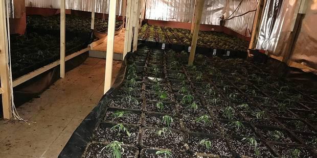 Tubize : 1.500 plants de cannabis dans un hangar ! - La DH