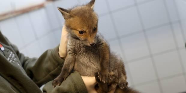 Plus de 2.000 animaux blessés recueillis en 2016 par le centre de revalidation pour la faune sauvage de Bruxelles - La D...