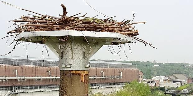 Les cigognes incitées à nicher le long du canal - La DH