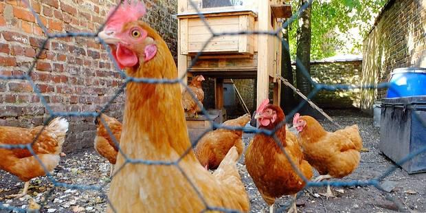 Lessines: 40 poules pour zéro déchet - La DH