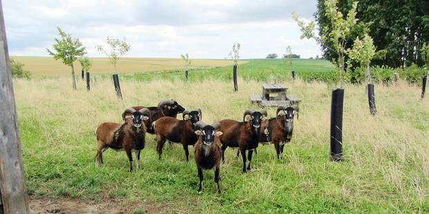 Comines: Des moutons pour lutter contre la renouée du Japon - La DH