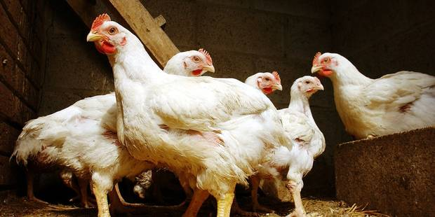 Rochefort: 9.600 poules, l'enquête se termine - La DH