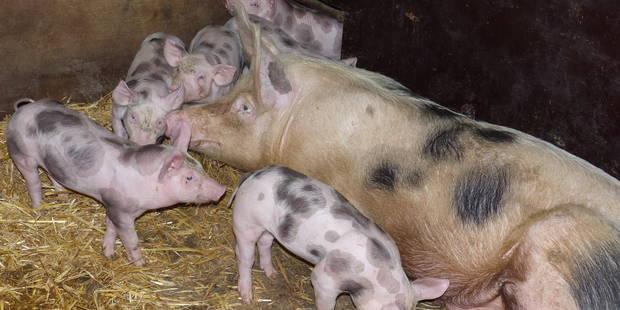 Brabant wallon: Soutien au porc Piétrain - La DH