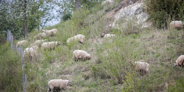 Les moutons débarquent à Liège ! - La DH