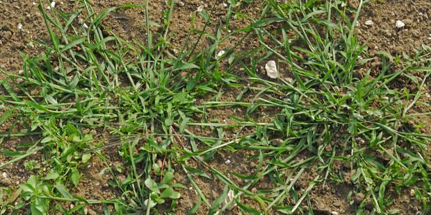 Le plan radical de Rhode-Saint-Genèse contre les mauvaises herbes - La DH