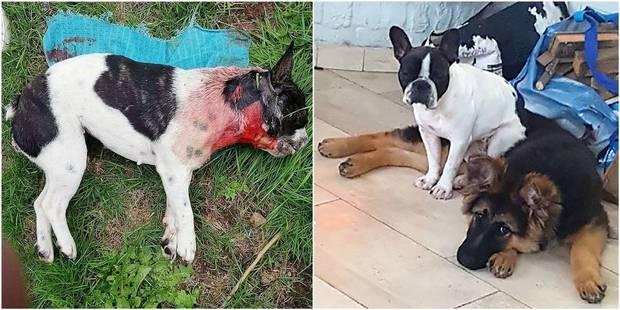 Chien poignardé à Verviers: le second animal en danger - La DH