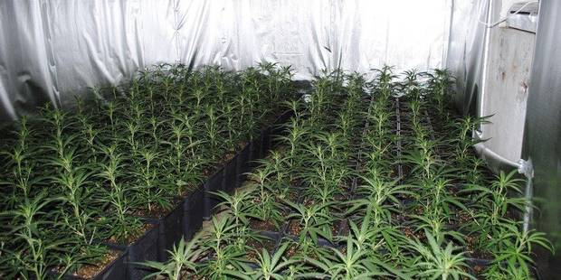 Marcinelle: 197 plants de cannabis découverts dans une habitation - La DH