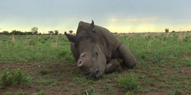 Afrique du Sud: un éleveur veut vendre de la corne de rhinocéros (VIDEO) - La DH