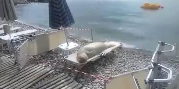 Un phoque se prélasse sur un transat (Video) - La DH