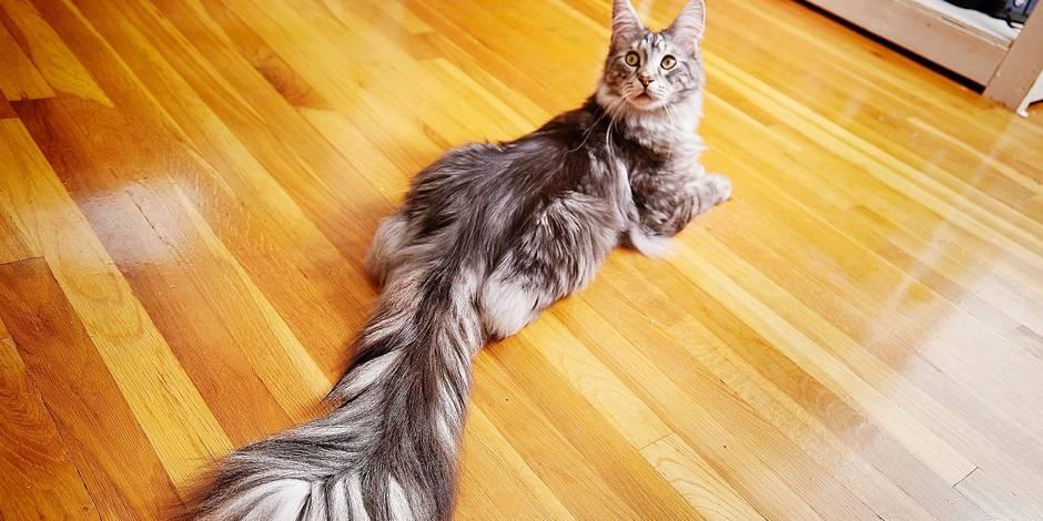 Ce chat a la plus longue queue du monde, et elle mesure...