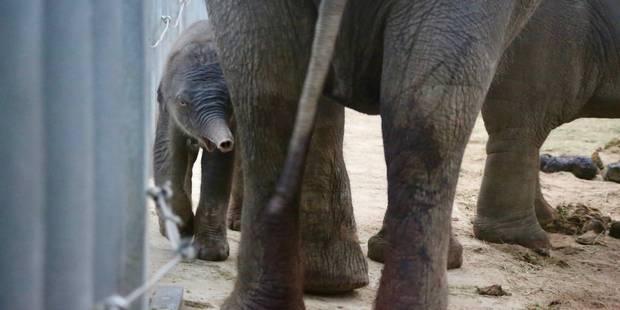 Carnet rose à Pairi Daiza: un éléphanteau d'Asie a vu le jour ce mardi - La DH
