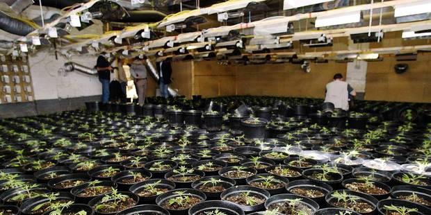 600 plants de cannabis découverts dans un hangar à Hensies - La DH