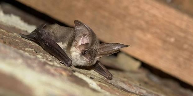 Etalle: un cas de rage atypique décelé chez une chauve-souris - La DH